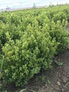 Boxwood 25-50 cm fresh with a lump from the field