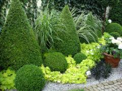 Boxwood decorative