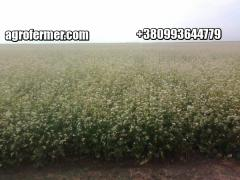 Buckwheat seeds GRANBY Canadian transgenic variety
