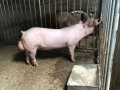 Cantor boars, Duroc, Landrace, Maxter with pig