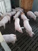 Pigs from the pig farm great parties