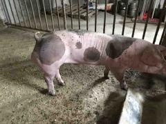 Племенной молодняк со свинокомплекса