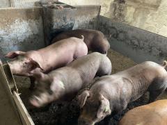 Племінні кабани зі свинокомплексу