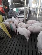 Поросята купить со свинокомплекса
