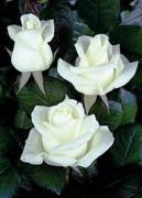 Rose seedlings from the nursery. Rose seedlings opt