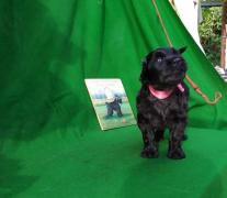 sell puppy black Terrier