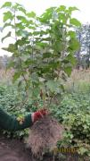 Sell seedlings of black currant