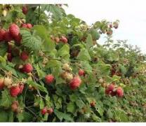 sell sell seedlings raspberry varieties Glen Empl