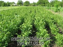 Sell walnut seedlings
