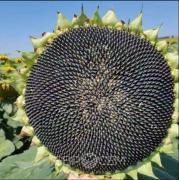 Соняшник Евросіт АВАЛОН | AVALON OR7 +